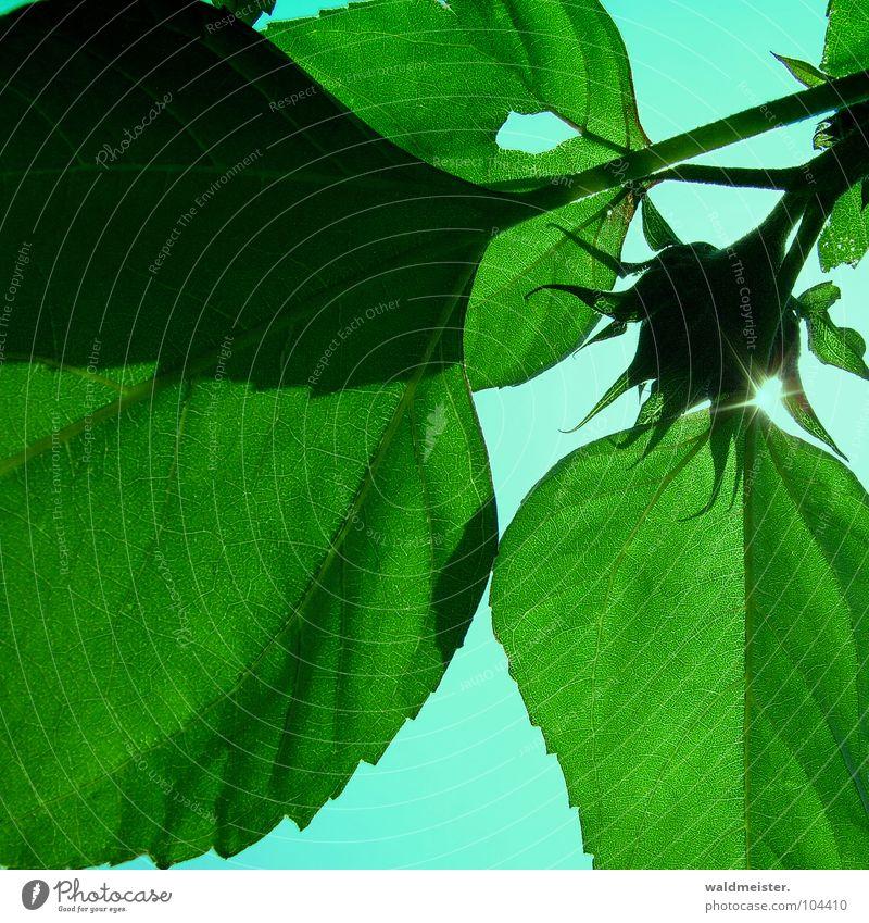 Sonnenblume Blume grün Garten Blüte Blatt Gegenlicht Schatten Sommer