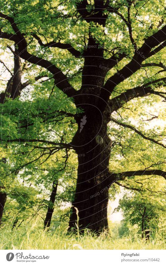 Der grüne Baum Eiche Park Wald Baumstamm tree oak garden großer garten Natur forest treetrunk