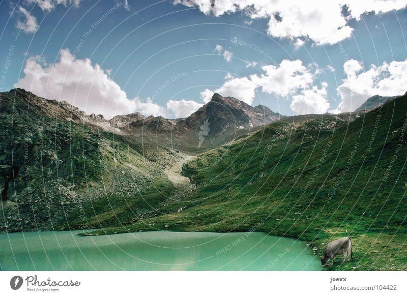 See. Kuh. Gebirgssee Berge u. Gebirge löschen durstig Gletscher Gras grün Tier trinken unberührt Wiese Wolken Säugetier auftanken Durst gletschertal Glück