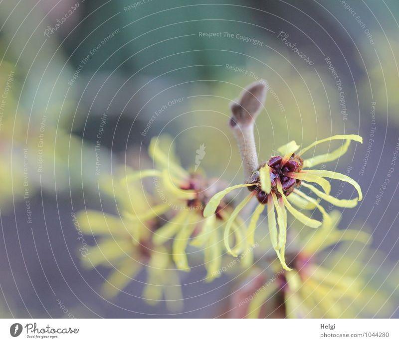 Winterblüten... Natur Pflanze schön Winter Umwelt gelb Leben Blüte Frühling natürlich grau klein braun Park Wachstum frisch