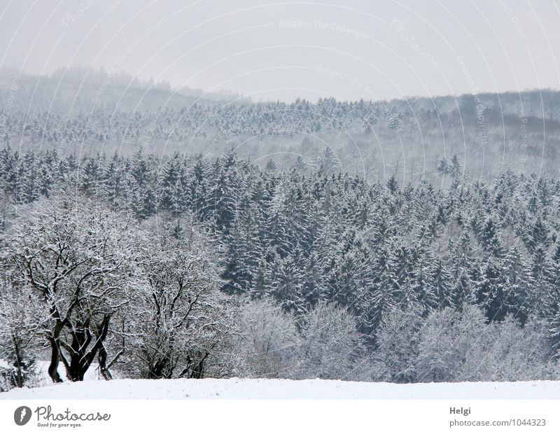 winterlicher Teutoburger Wald... Umwelt Natur Landschaft Pflanze Himmel Winter Eis Frost Schnee Baum Sträucher Nutzpflanze Fichte Nadelbaum frieren stehen