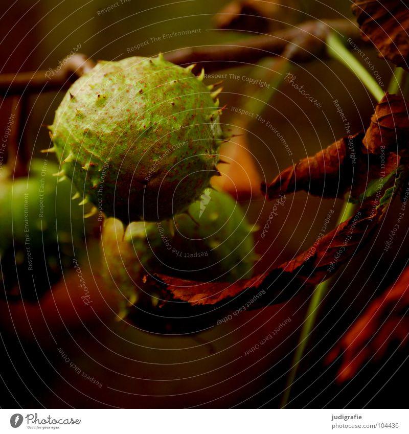 Spätsommer Natur grün Baum Sommer Blatt Umwelt Herbst Spitze Ast Zweig Schalen & Schüsseln Stachel Kastanienbaum Laubbaum Igel Buchengewächs