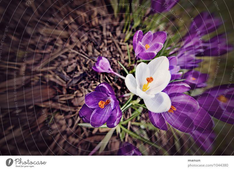 eyecatcher Natur Frühling Blume Blüte Krokusse Frühlingsblume Frühblüher natürlich violett weiß Frühlingsgefühle Farbfoto Außenaufnahme Textfreiraum links Tag