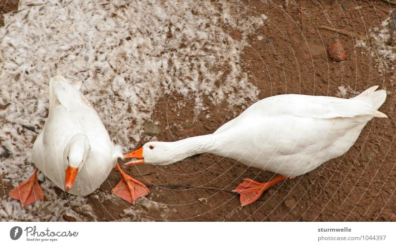 Ey du blöde Gans Umwelt Natur Pflanze Winter Tier Nutztier Vogel Entenvögel gänse 2 kämpfen Konflikt & Streit Aggression Wut Farbfoto Außenaufnahme Menschenleer