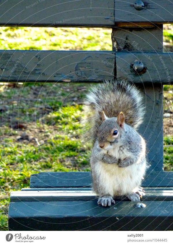 Bankbesetzer... Gras Park Tier Wildtier Eichhörnchen 1 beobachten festhalten Fressen sitzen warten Freundlichkeit Neugier niedlich grau Leben Parkbank
