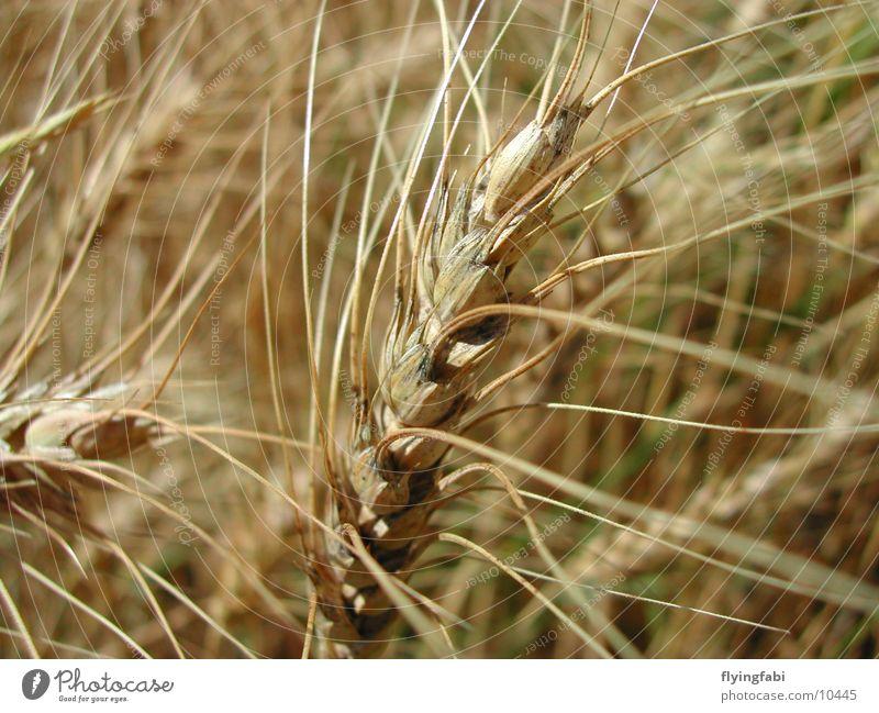 Kornfeld Natur Feld Landwirtschaft Korn Weizen