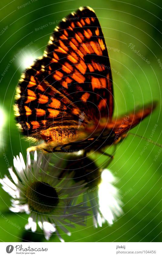 """Rückseite von """"V"""" Schmetterling Muster Insekt flattern Fühler Blume Blüte Staubfäden Sammlung Stengel Pflanze Ernährung violett Tier Frühling Unbeschwertheit"""