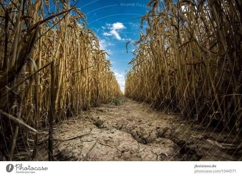 Mäuseautobahn? Natur Landschaft Pflanze Erde Wolken Herbst Nutzpflanze Wildtier Maus Essen Fressen Unendlichkeit natürlich trocken Getreide Getreidefeld Weizen