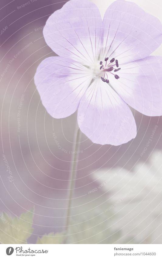 zartlila Natur Pflanze Blüte Wiese Feld ästhetisch schön violett hell Blume Blumenwiese weiß Hochformat offen direkt Frühling Frühlingsgefühle frühjahrsbote