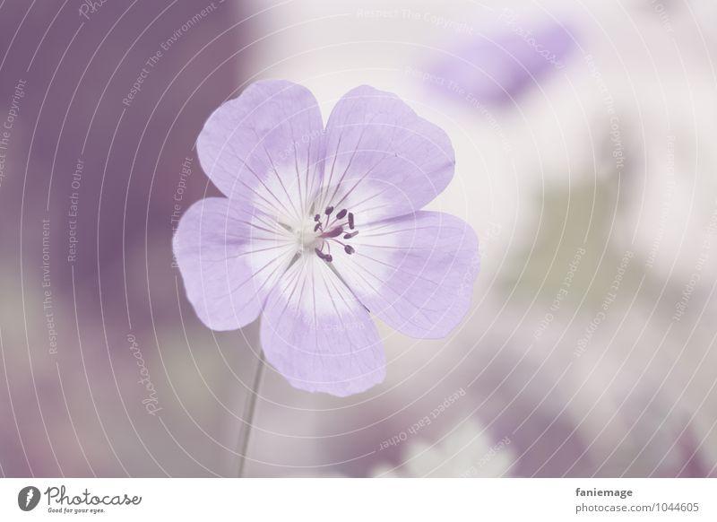 zartlila II Natur Pflanze schön weiß Blume Winter Umwelt Blüte Frühling Wiese Garten hell Park Feld elegant offen