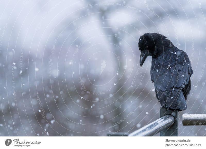 Krähe im Schneegestöber Natur weiß Tier Winter Ferne schwarz dunkel kalt Umwelt Traurigkeit Gefühle natürlich außergewöhnlich Vogel Schneefall