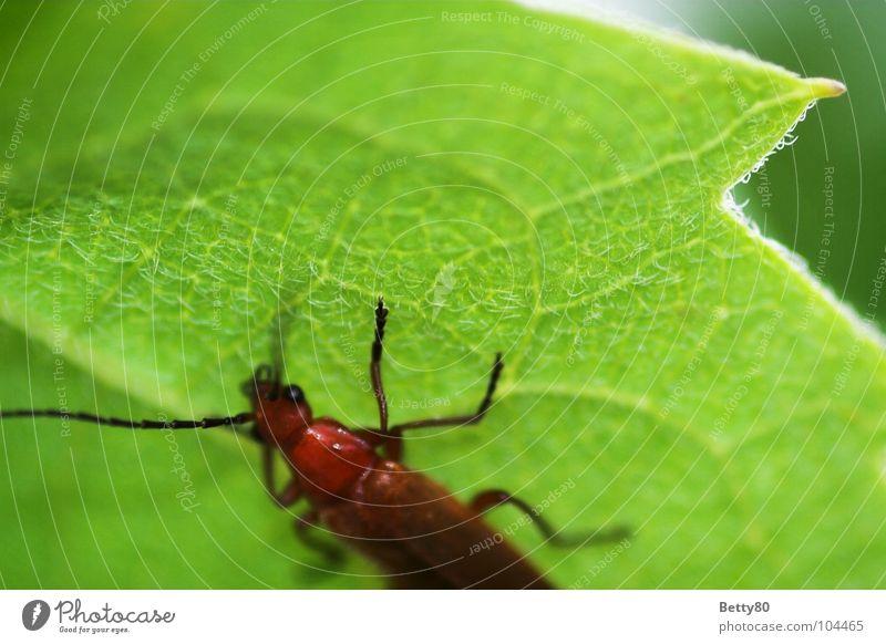 Kletter-Maxe Pflanze Insekt Blattadern grün Fressen Sommer Frühling Pause ruhen faulenzen Makroaufnahme Nahaufnahme Natur Käfer Klettern Pause machen faul sein