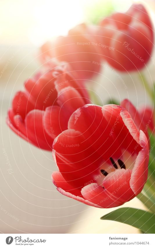 Tulpengruß Natur Pflanze Blume Blüte Duft schön Wärme Fröhlichkeit Frühlingsgefühle Frühlingsblume Vorfreude rot grün weiß Blühend strahlend Blumenstrauß Vase