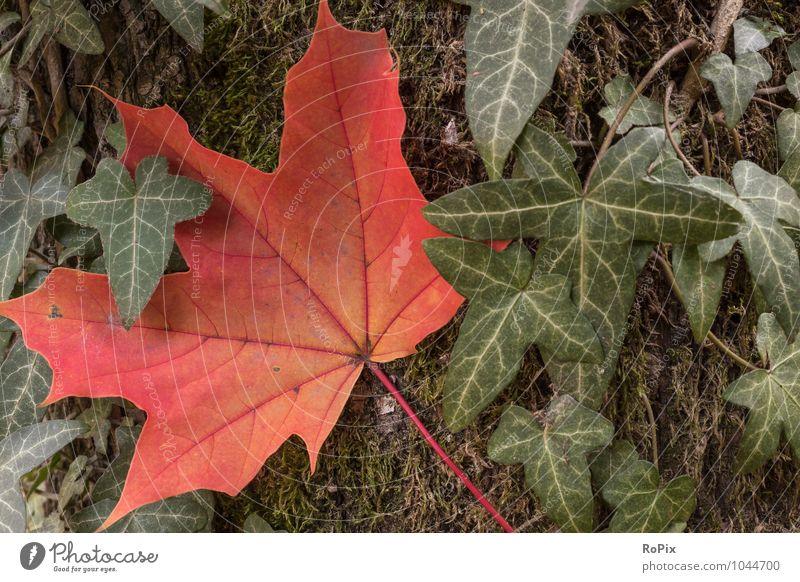 Herbst Umwelt Natur Landschaft Pflanze Baum Moos Efeu Blatt Grünpflanze Ahornblatt wood Baumstamm Jahreszeit Jahreszeiten Herbstfärbung Immergrün Symbiose