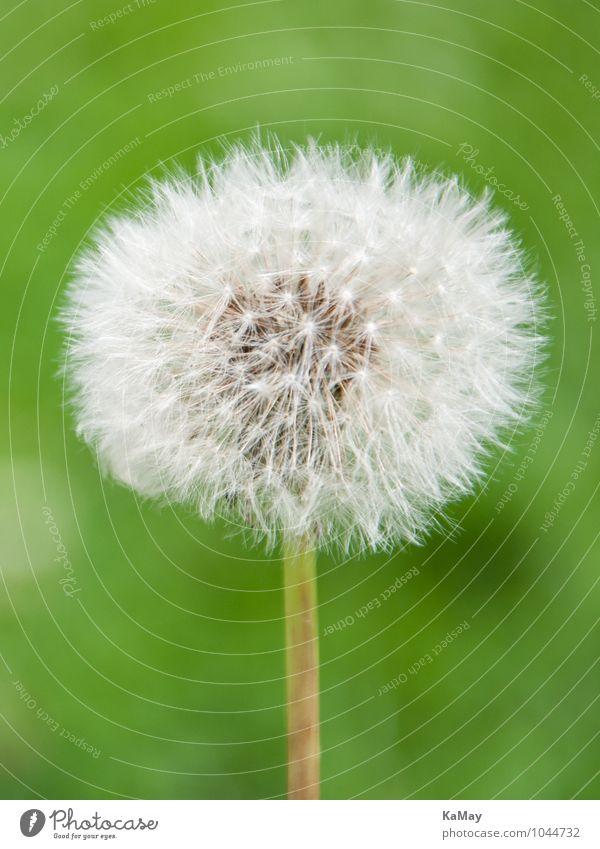 Verblühter Löwenzahn...Pusteblume Sommer Blühend verblüht ästhetisch hell nah rund weiß Natur Umwelt Samen Saatgut filigran Hochformat einfarbig grün Pflanze