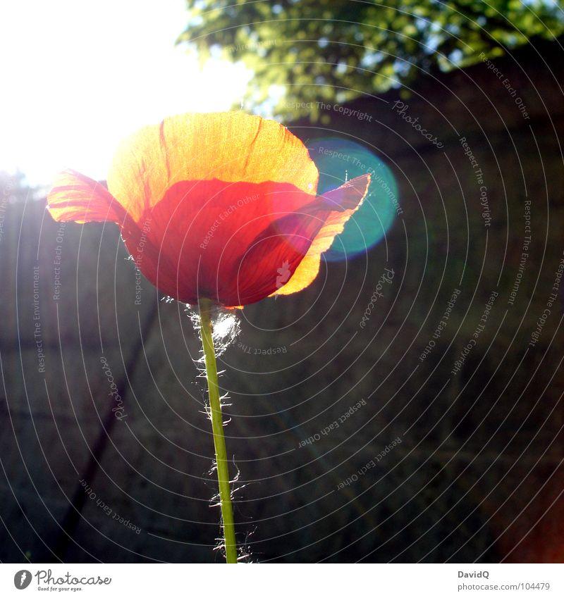 Mohnschein Blume grün rot Sommer Blüte orange zart Blühend Mohn Schönes Wetter verblüht Blütenblatt Lichtstrahl Klatschmohn Wegrand
