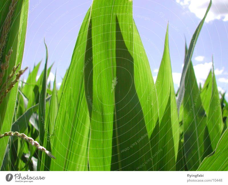 Maisfeld Feld Landwirtschaft Bauernhof Gentechnik Monokultur corn Bioprodukte
