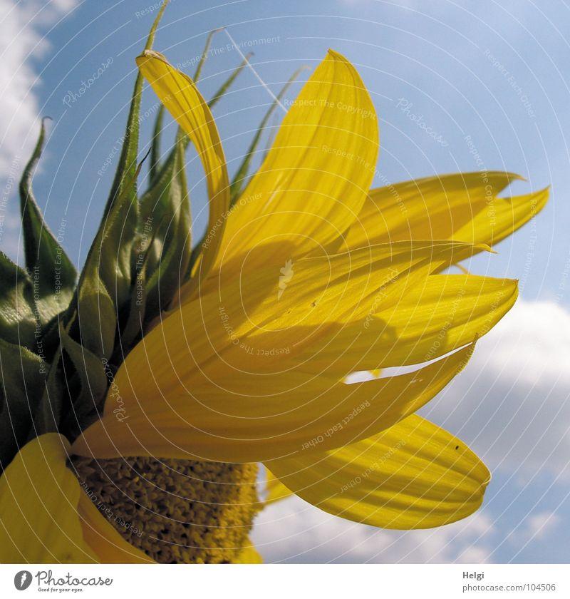 von der Sonne verwöhnt.... Himmel weiß Blume grün blau Sommer Wolken gelb Blüte braun Beleuchtung Feld dünn Vergänglichkeit lang Blühend