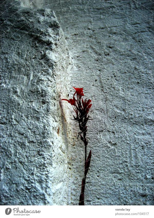 Solitär Natur schön weiß Blume Pflanze rot Ernährung Einsamkeit Wand Blüte Mauer Trauer Vergänglichkeit Stengel Verzweiflung Putz