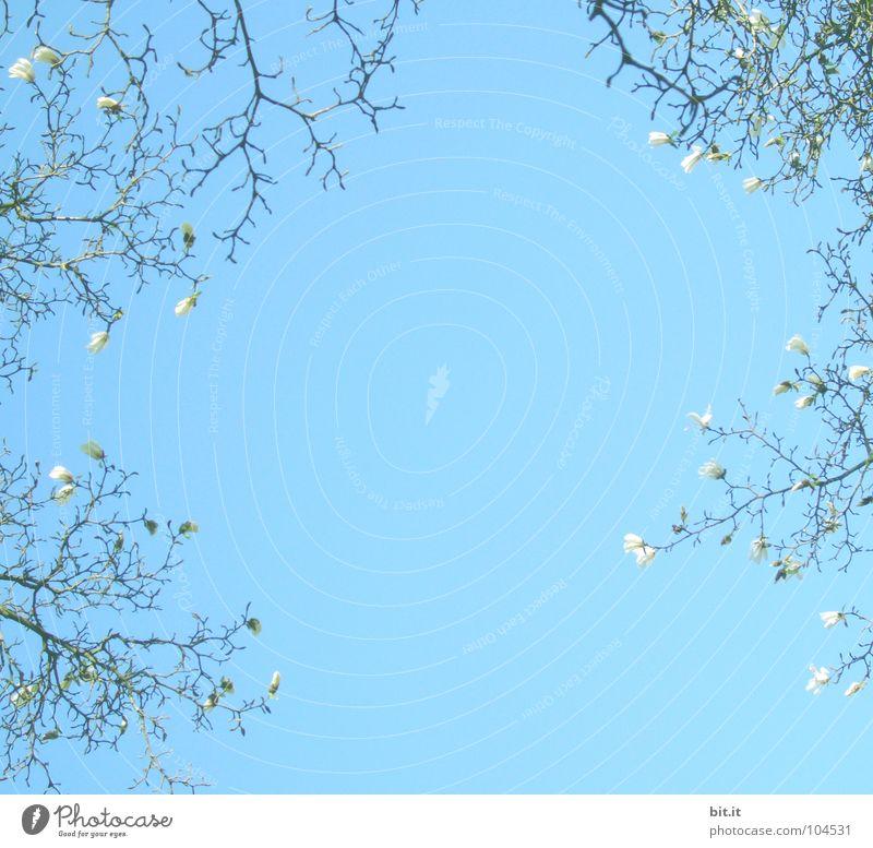 Blütenkranz Himmel Frühling Sommer Blühend oben blau weiß himmelblau umrandet Hintergrundbild Magnoliengewächse Frühlingstag Zweige u. Äste Farbfoto