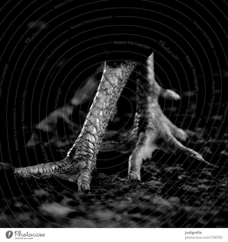 Huhn Tier Beine Fuß Vogel laufen Landwirtschaft Bauernhof Haushuhn Hahn Federvieh