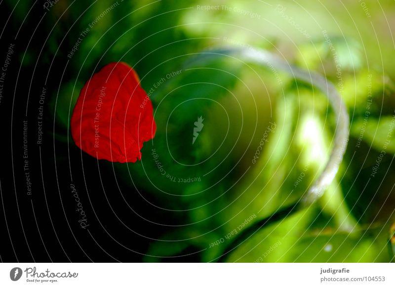 Mohn Blüte grün rot Licht Wiese Umwelt Sommer Stengel Pflanze Wachstum gedeihen dunkel entfalten Blühend Farbe Blütenknospen Natur hell