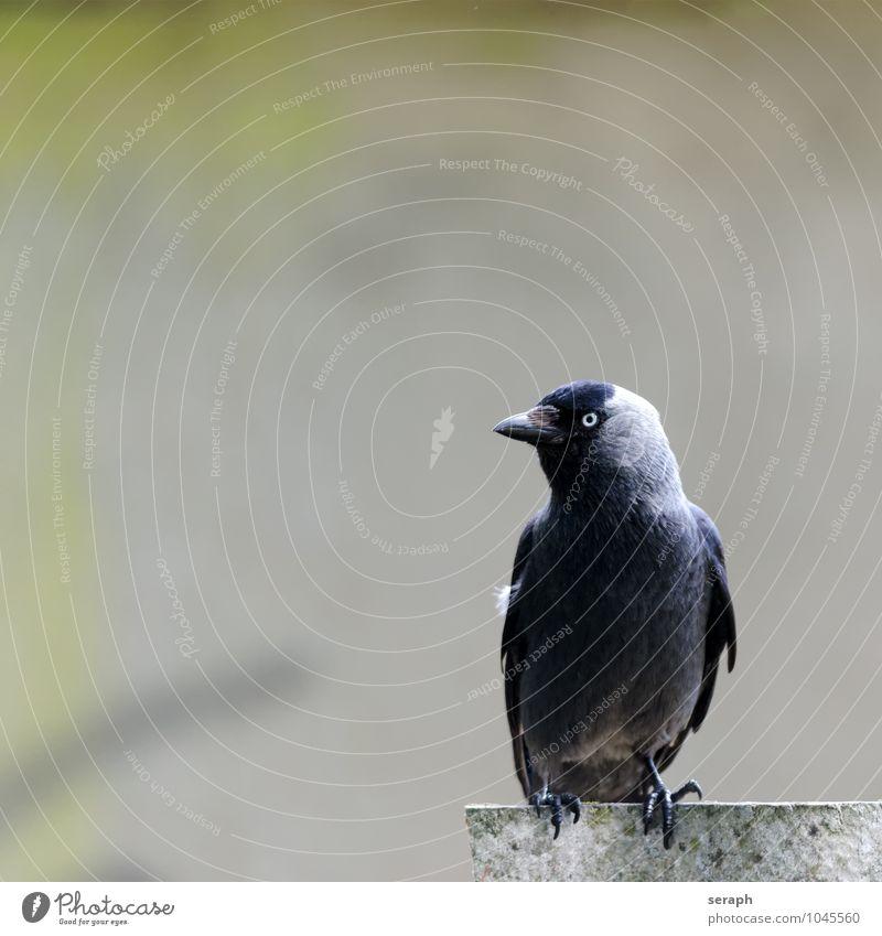 Dohle Tier Vogel Flügel Feder Rabenvögel Kolkrabe Krähe Natur sitzen Mauer beobachten aussruhen Schnabel Alpendohle plumage Blick talon Auge Ornithologie wild