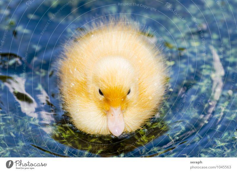 """Federball Küken Ente Vogel Pflaume Ornithologie Meer Tier fauna Natur Flügel wild Teich Tierjunges niedlich füttern fowl """"""""water bird"""""""" neugeboren fluffig"""