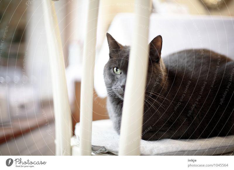 the cat is on the chair ! (für AlexAlex) Häusliches Leben Stuhl Haustier Katze Tiergesicht Hauskatze 1 hocken sitzen Gefühle Stimmung Geborgenheit friedlich