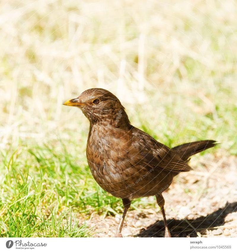 Amsel Frau Natur Tier schwarz Umwelt Auge Vogel wild stehen Feder Flügel Aussicht beobachten nah Schnabel Ornithologie