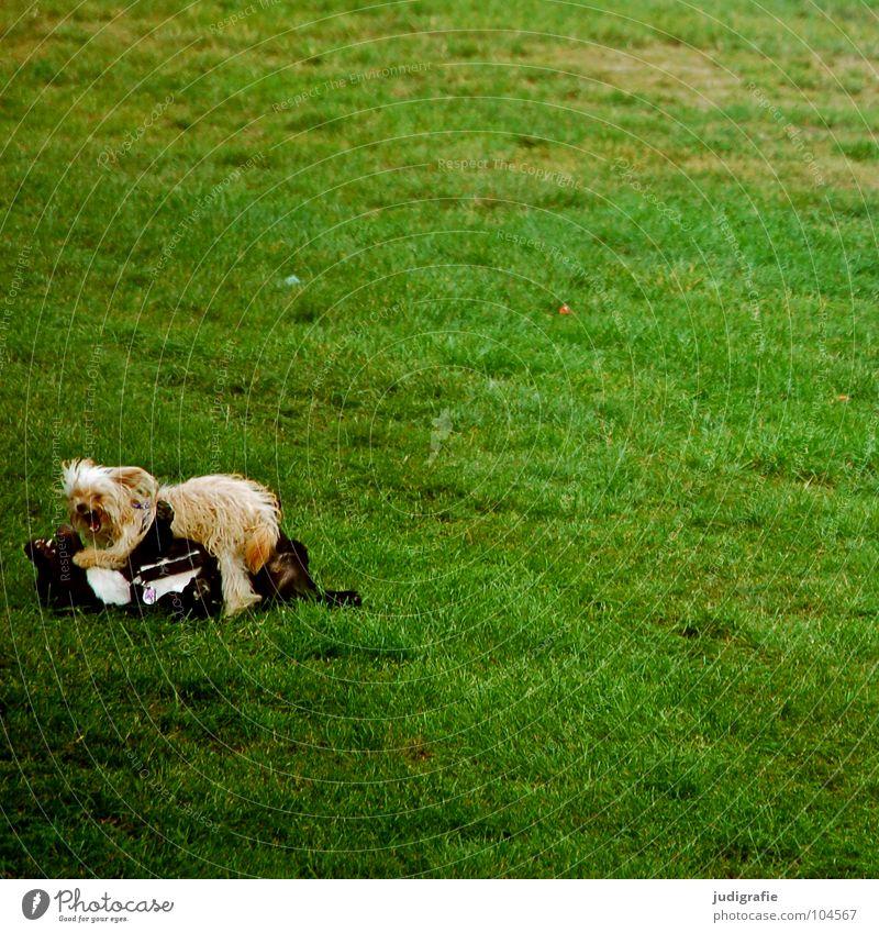 Hunde Hundekampf Dogge klein Wiese Spielen schlagen Treue Haustier Tier grün anstrengen Freundschaft Säugetier Farbe hosenbeinbeißer fiffi Rasen