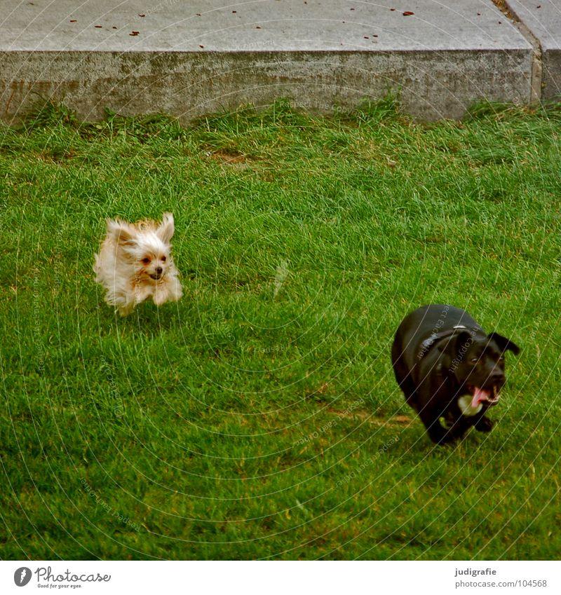 Hunde Hundekampf Dogge klein Wiese Spielen schlagen Treue Haustier Tier grün anstrengen Jagd Säugetier hosenbeinbeißer fiffi Rasen