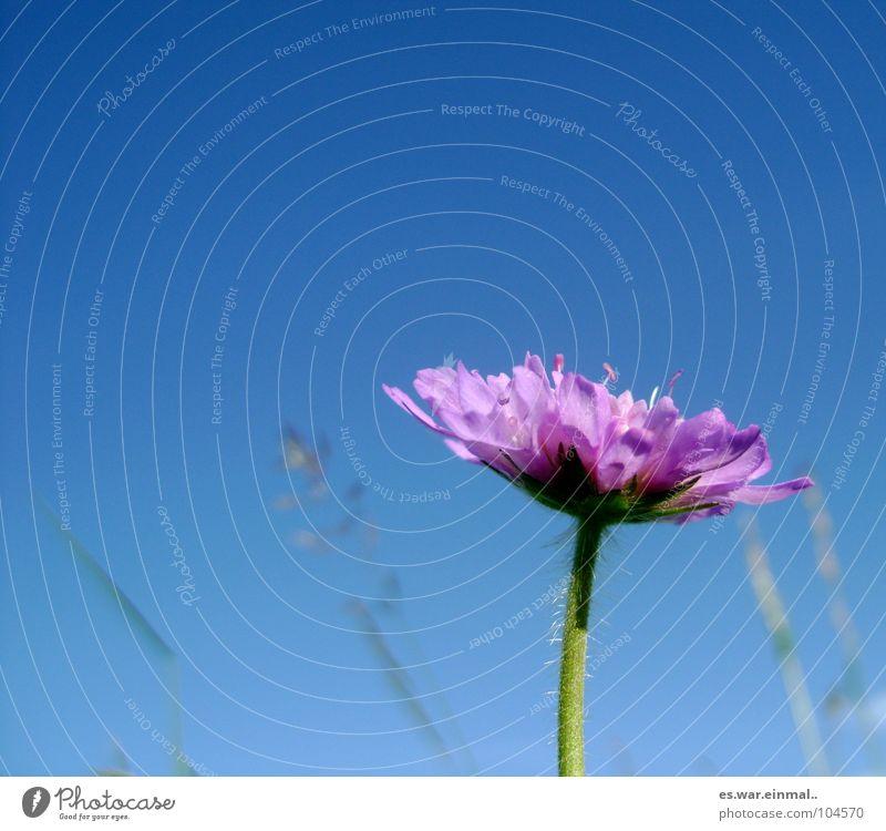 frau blume. Wiese Blume Gras Halm himmelblau Verlauf violett Fliederbusch Blumenwiese frisch Biene Wespen Frühling Himmel fliederfarben Geruch Natur häärchen