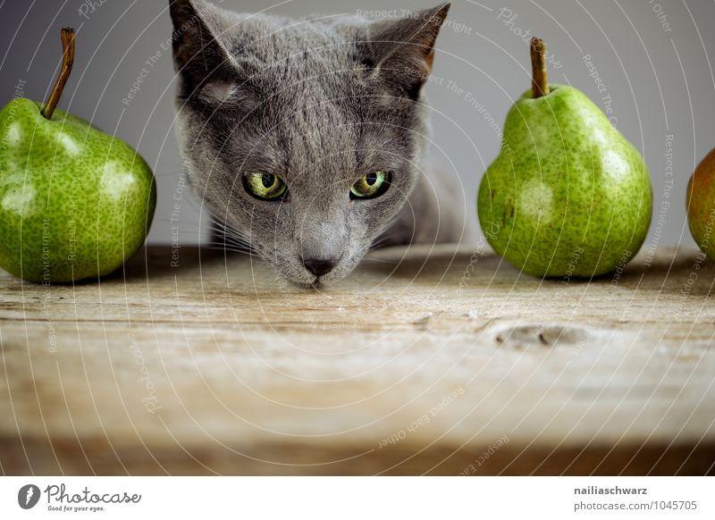 Katze und Birnen Lebensmittel Frucht Bioprodukte Vegetarische Ernährung Diät Tier Haustier Tiergesicht russisch blau 1 Holz beobachten berühren entdecken Blick