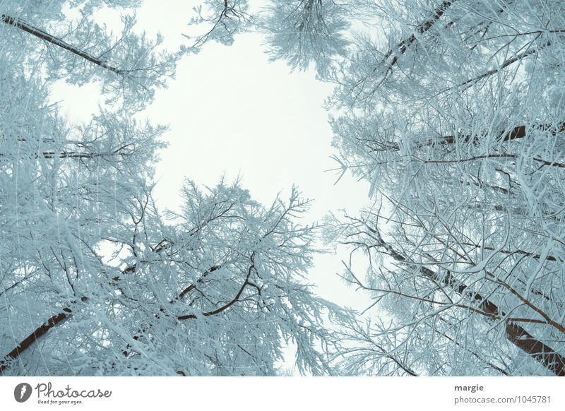 Der Blick nach oben in verschneite Baumwipfel Umwelt Natur Wasser Himmel Winter Klima Wetter Eis Frost Schnee Schneefall Baumstamm Ast Zweige u. Äste Wald