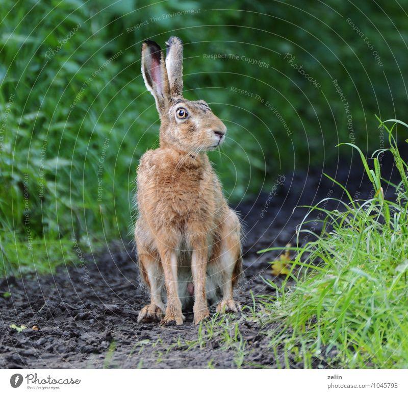 neugieriger Hase Wildtier Hase & Kaninchen 1 Tier beobachten Neugier Selbstständigkeit Farbfoto Außenaufnahme Menschenleer Morgen Schatten