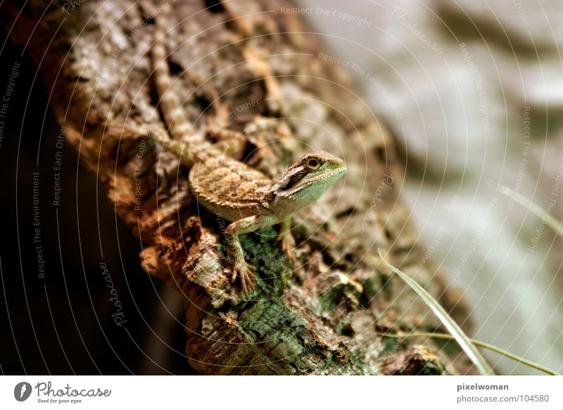 Bartagamen [vitticeps] grün Tier braun klein dünn Lebewesen Reptil Baumrinde Echsen Terrarium