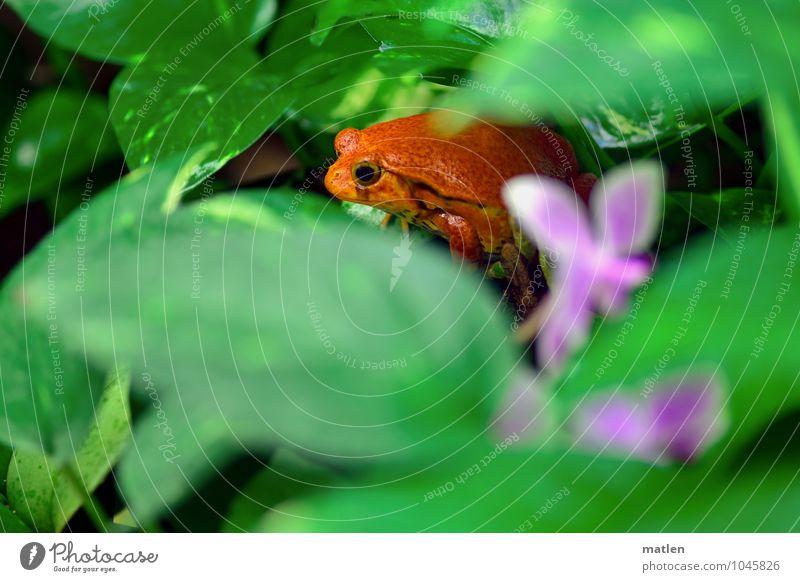 eierlegend Pflanze grün rot Blatt Tier Blüte beobachten Frosch Orchidee
