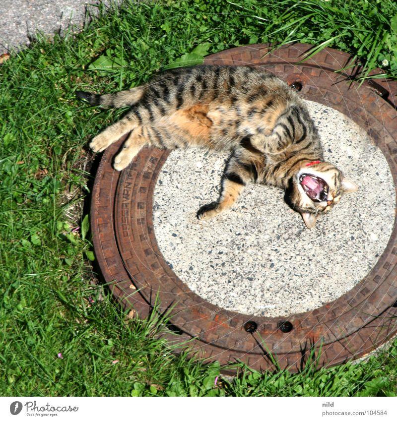 nix tun Katze Erholung Gras Garten Sprungbrett gefährlich schlafen süß niedlich Rasen schreien Müdigkeit Sonnenbad gestreift Pfote Säugetier