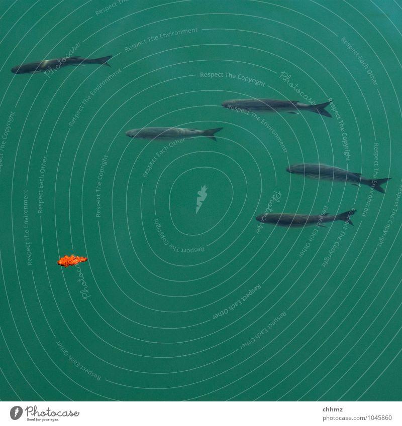 Wasserball Teich See Bach Fluss Schwimmen & Baden klein grün elegant 5 Fisch Freundschaft Blatt Eichenblatt Meerestiefe Reflexion & Spiegelung Richtung links