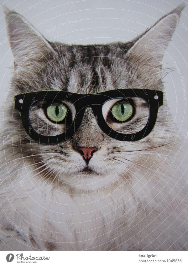 Nerd Tier Haustier Katze 1 beobachten Kommunizieren Blick nerdig klug grau weiß Gefühle selbstbewußt einzigartig Kreativität skurril Brille Brillenträger Freak