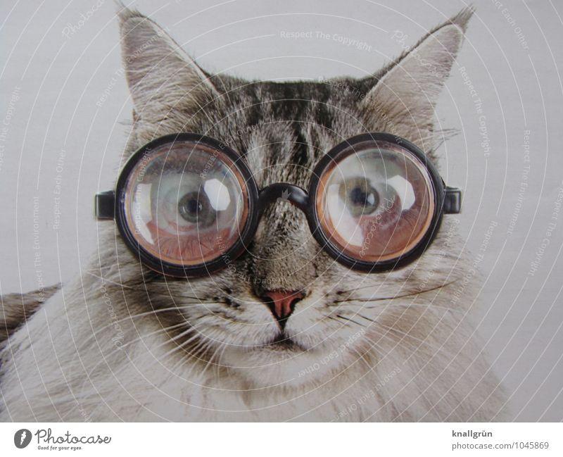 Ich glaube, die Brille steht mir nicht! Tier Haustier Katze 1 beobachten Kommunizieren Blick außergewöhnlich einzigartig grau schwarz weiß Gefühle bizarr