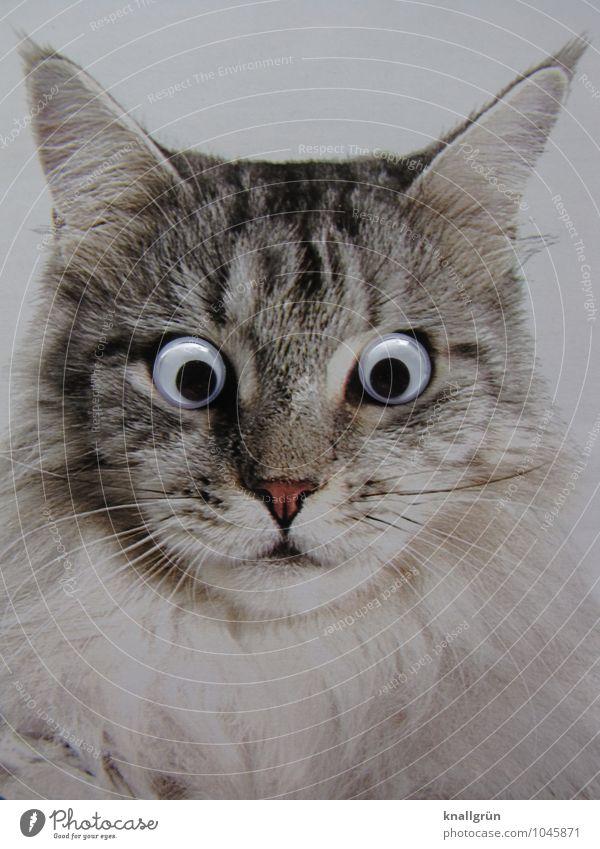 Ich seh' da was! Tier Haustier Katze 1 beobachten Blick grau weiß Gefühle Erwartung Überraschung Starrer Blick Anstarren Farbfoto Gedeckte Farben Studioaufnahme