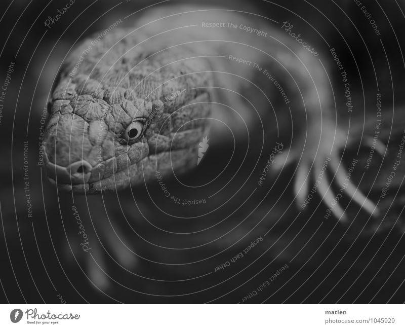 guckst du Tier Krallen 1 Neugier grau weiß Skink Pfote Interesse Schwarzweißfoto Makroaufnahme Menschenleer Porträt Tierporträt Oberkörper Blick Wegsehen