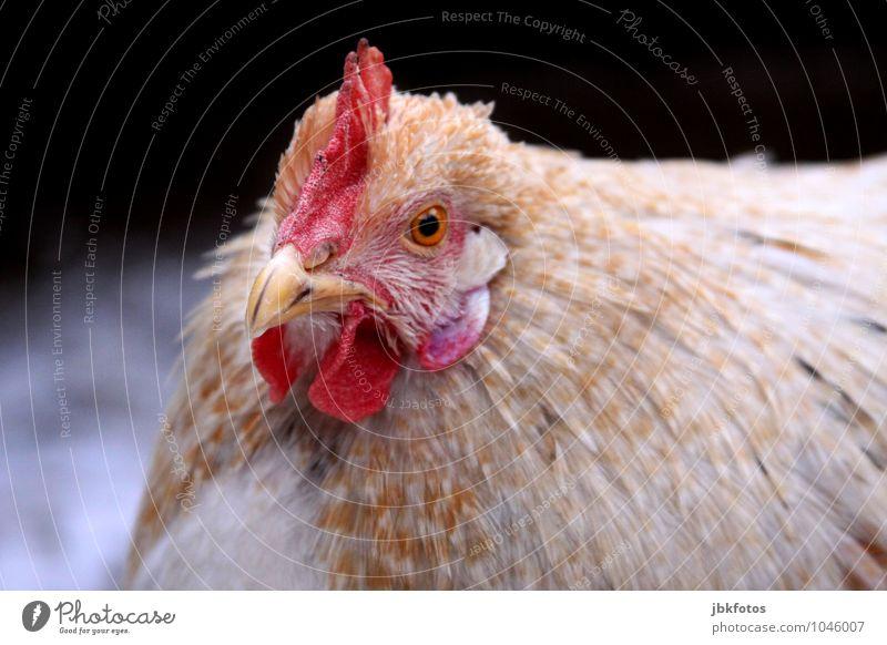 Dicke Berta [4] Tier Haustier Nutztier Vogel Tiergesicht Flügel Haushuhn Kamm Schnabel Auge 1 Zufriedenheit einzigartig elegant Erholung Erwartung Freiheit