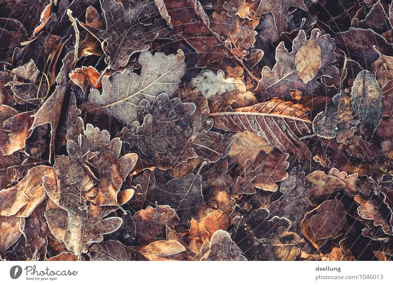 Herbstlaub mit Zuckerrand Natur Pflanze Winter Eis Frost Blatt Eiche Eichenblatt einzigartig kalt natürlich trocken wild braun orange weiß Senior Zufriedenheit
