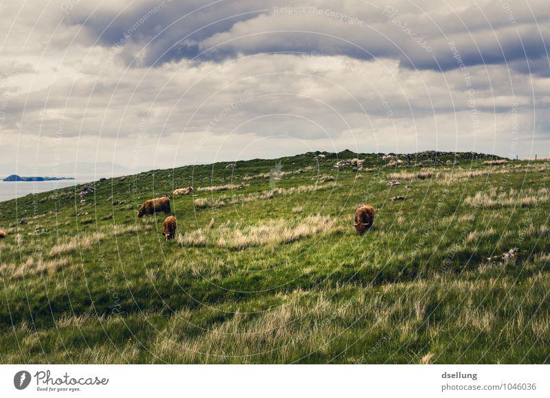 die seele baumeln lassen. Natur Landschaft Himmel Wolken Sommer Schönes Wetter Wiese Feld Nutztier Schottisches Hochlandrind 3 Tier Tiergruppe Herde Erholung