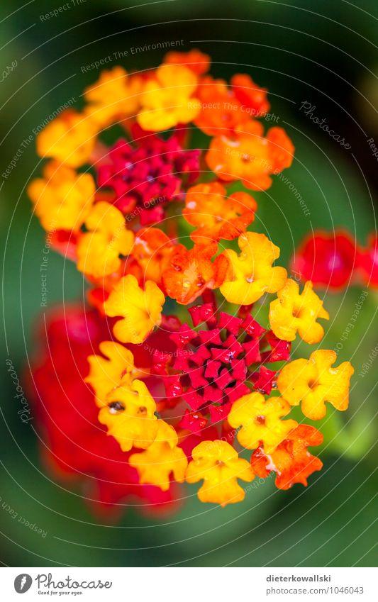 ∞ Pflanze schön rot Blume gelb Blüte Garten leuchten Mallorca exotisch Wildpflanze
