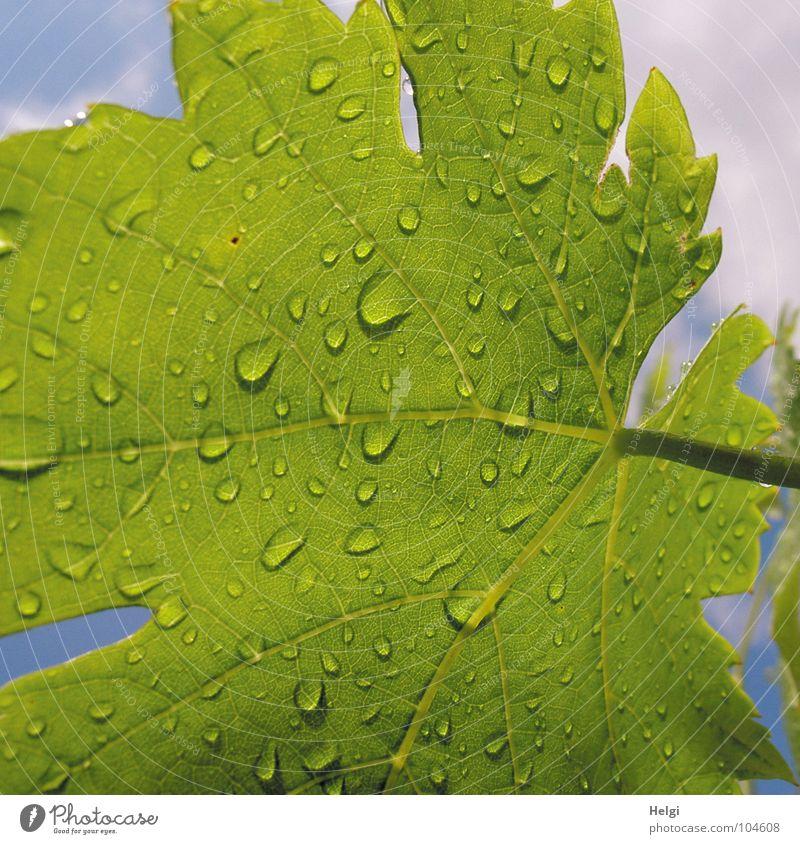 Nahaufnahme eines grünen Weinblattes mit Regentropfen nass Blatt Stengel Gefäße Blattgrün Wolken weiß Sommer Wachstum Pflanze Makroaufnahme Garten Park