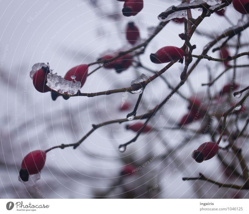 Winterfruchtstand Frucht Natur Pflanze Himmel Eis Frost Sträucher Hagebutten Garten Park dehydrieren nass natürlich rund trist grau rot ruhig Glaube